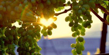 Σουλτανίνα… το ευτυχές δημιούργημα της φύσης!
