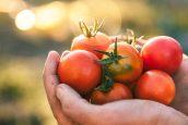 Ντομάτα: Φρούτο ή λαχανικό;