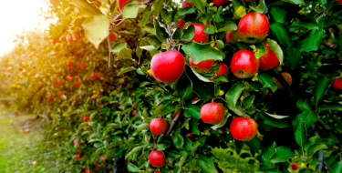 Όλα όσα αξίζει να ξέρεις για τα μήλα!